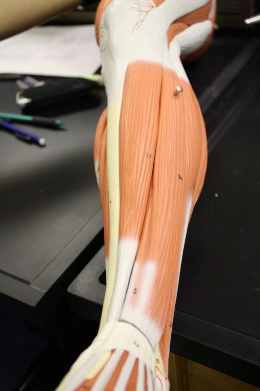 A m. tibialis anterior elöl, közvetlenül a sípcsont mellett húzódik.